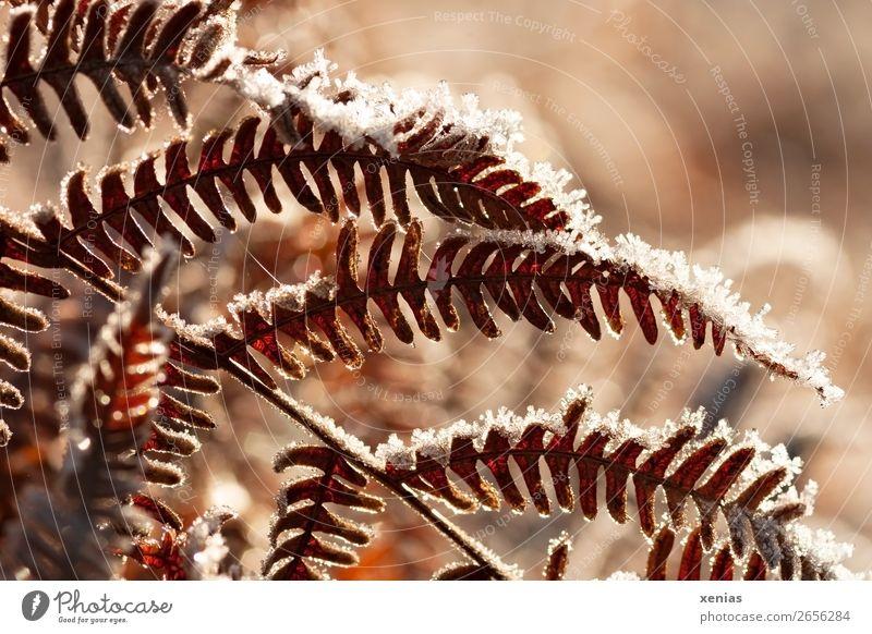 Forest Winter Autumn Cold Snow Garden Death Orange Brown Park Frozen Autumnal Limp Fern Fern leaf
