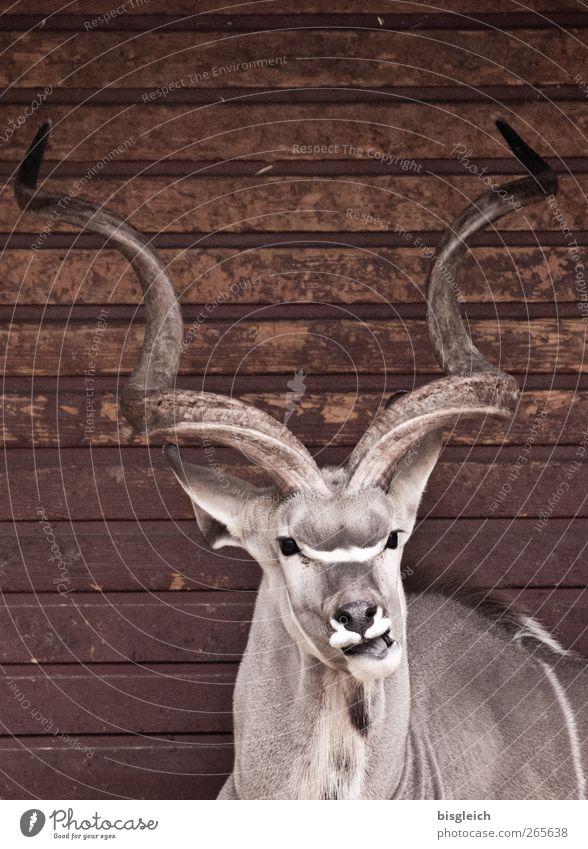Animal Gray Brown Lie Zoo Antlers Antelope