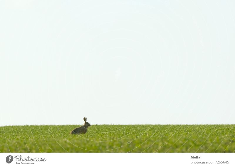 Last Rabbit standing Easter Easter Bunny Environment Nature Landscape Animal Spring Meadow Field Wild animal Hare & Rabbit & Bunny 1 Crouch Looking Sit Free