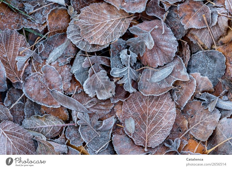 Leaves and hoarfrost Nature Plant Winter Ice Frost Leaf Garden Forest Hoar frost Freeze Cold Brown Orange Silver Calm Seasons Apocalyptic sentiment Change