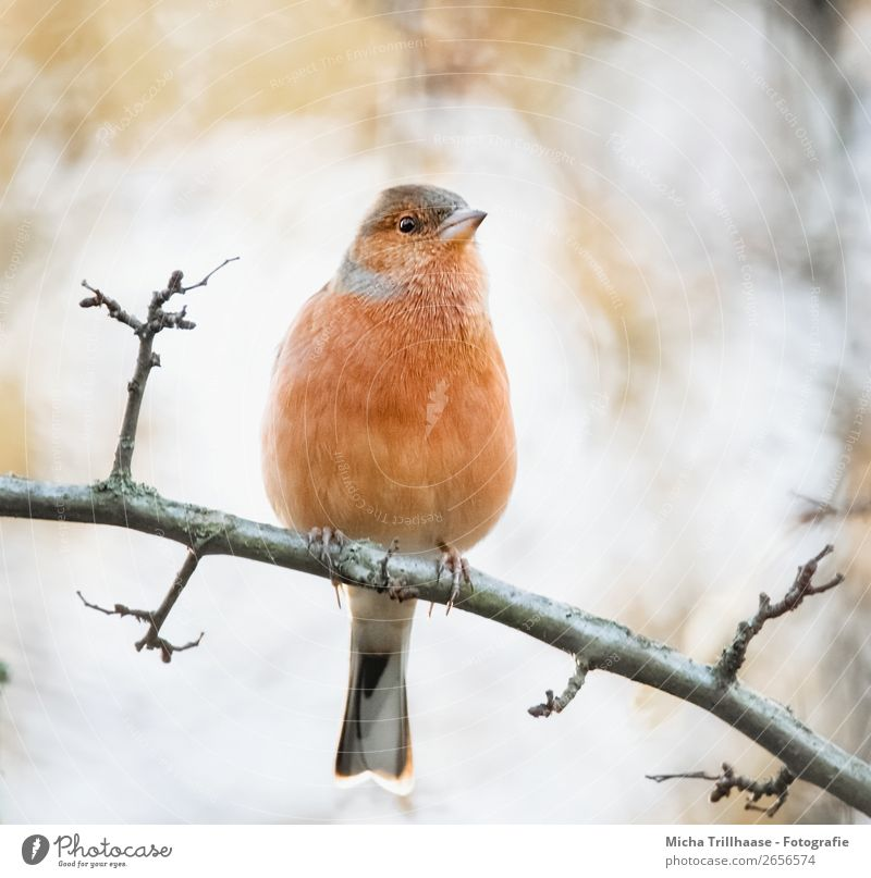 Bookfinch in the evening light Nature Animal Sunlight Beautiful weather Tree Wild animal Bird Animal face Claw Chaffinch Finch Metal coil Beak 1 Observe