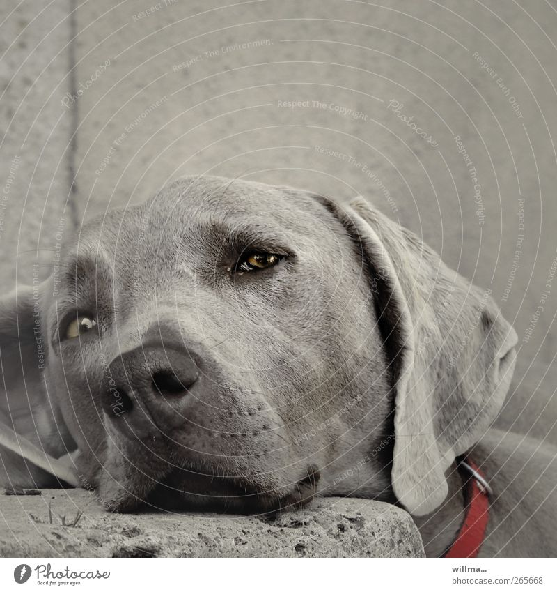 Dog sleepily leans his head on a stone. Weimaraner Animal Pet Animal face Pelt Dog's snout Puppydog eyes Dog's head Dog collar Stairs Stone Observe Relaxation
