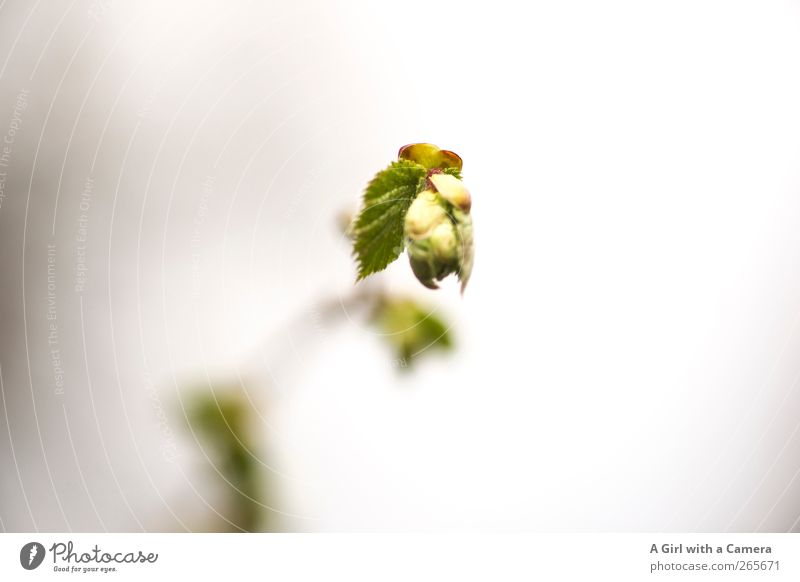 Nature Green Plant Leaf Environment Spring Blossom Beginning Fresh Growth New Bushes Bud Phenomenon Leaf bud