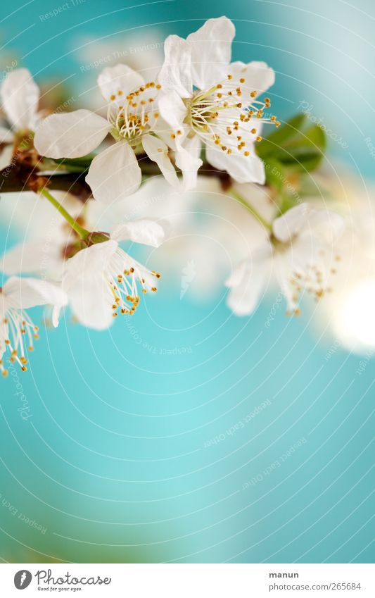 Nature Blue White Leaf Spring Blossom Bright Natural Blossoming Turquoise Twig Spring fever Spring colours