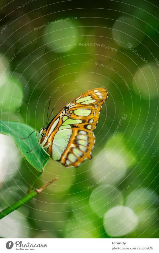 Siproeta stelenes with bohey_Malachite butterfly Nature Animal Wild animal Butterfly Natural Insect Noble butterfly malachite butterfly Profile Side Pattern