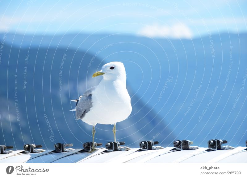 Sky Blue White Beautiful Vacation & Travel Summer Animal Freedom Gray Bright Bird Travel photography Seagull Summer vacation Silver Wanderlust