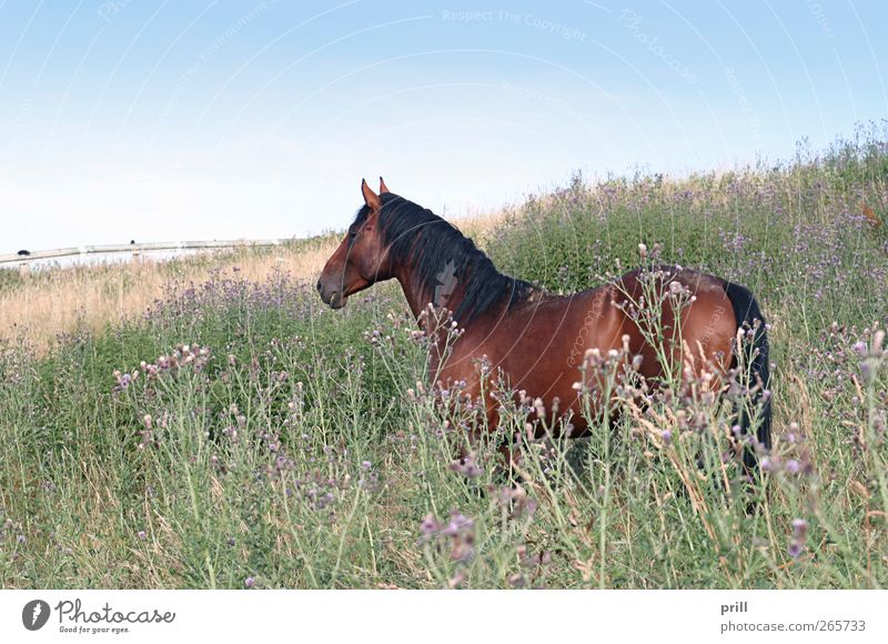 brown horse on a meadow Freedom Summer Agriculture Forestry Nature Landscape Plant Animal Cloudless sky Flower Blossom Meadow Bay Horse Blossoming Brown Idyll