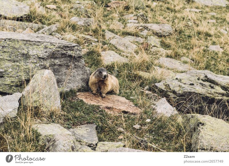 Marmot | Timmelsjoch | South Tyrol Adventure Hiking Nature Landscape Autumn Beautiful weather Rock Animal Observe Listening Looking Stand Wait Natural Curiosity