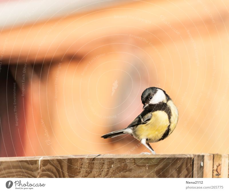 Germanys next topmeise Nature Animal Air Garden Bird Wing 1 Small Yellow Songbirds Tit mouse Black-capped Tit Happiness Sing Colour photo Multicoloured