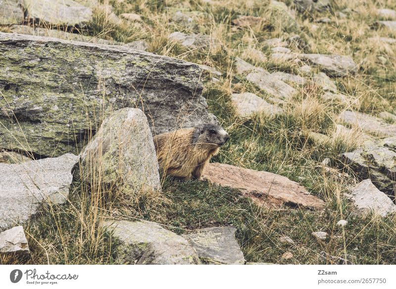 Marmot, Timmelsjoch, E5. Adventure Hiking Nature Landscape Autumn Beautiful weather Bushes Rock Alps Mountain Animal Observe Discover Relaxation Crouch Looking