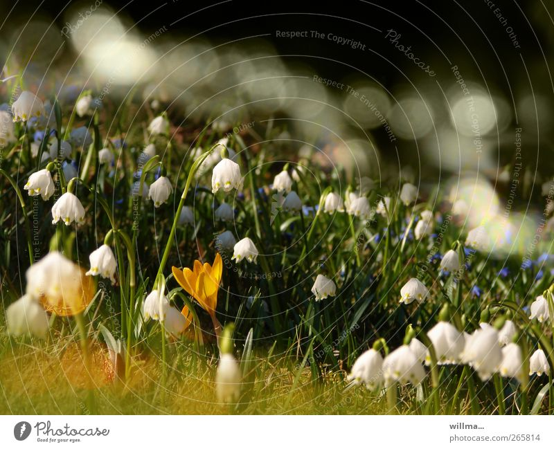 Nature White Green Plant Flower Yellow Environment Meadow Grass Spring Garden Beautiful weather Blossoming Crocus Spring fever Spring snowflake