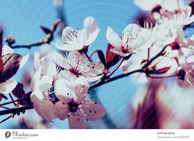 spring splendour Nature Plant Air Cloudless sky Spring Beautiful weather Flower Bushes Leaf Blossom Cherry blossom Cherry tree Blue Red White Beginning