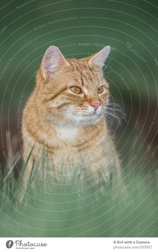 yes exactly Animal Pet Cat 1 Observe Looking Cool (slang) Beautiful Red Striped red cat Whisker Colour photo Exterior shot Close-up Detail Deserted