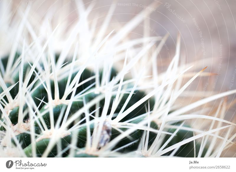Hairy cacti Environment Nature Plant Summer Warmth Drought Cactus Foliage plant Pot plant Exotic Cactusprickle Thorn Garden Park Desert Oasis Thorny Brown Green
