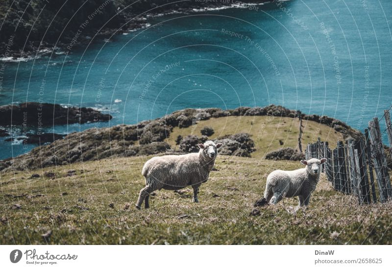 Coromandel Sheep Nature Landscape Animal Water Earth Farm animal 2 Blue Green Turquoise Travel photography Traveling Ocean Lamb Colour photo Deserted Day