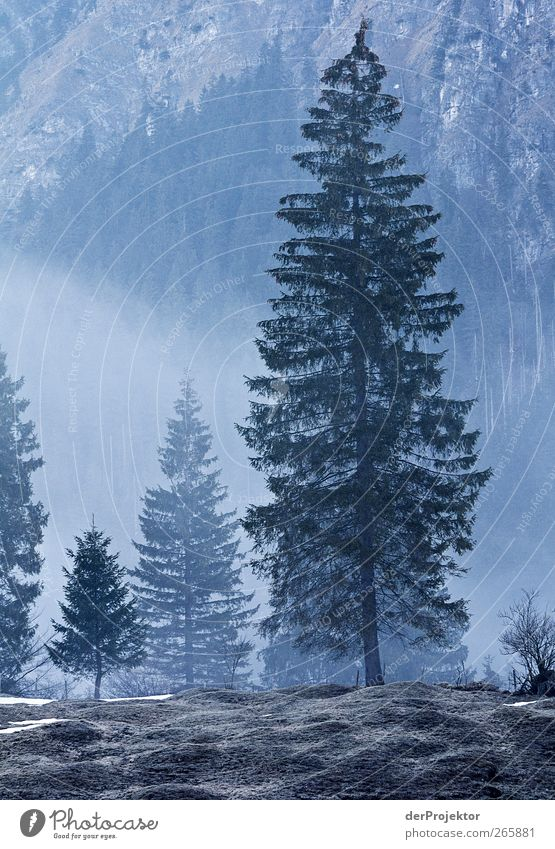 Spruce blue: in the morning Nature Landscape Fog Tree Forest Alps Authentic Blue Emotions Romance Curiosity Hill Haze Subdued colour Exterior shot Deserted