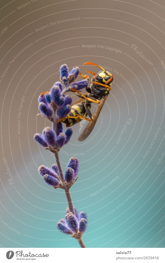 field wasp Environment Nature Plant Animal Summer Flower Blossom Lavender Animal face Wing Wasps Insect 1 Crawl Fragrance Colour photo Exterior shot