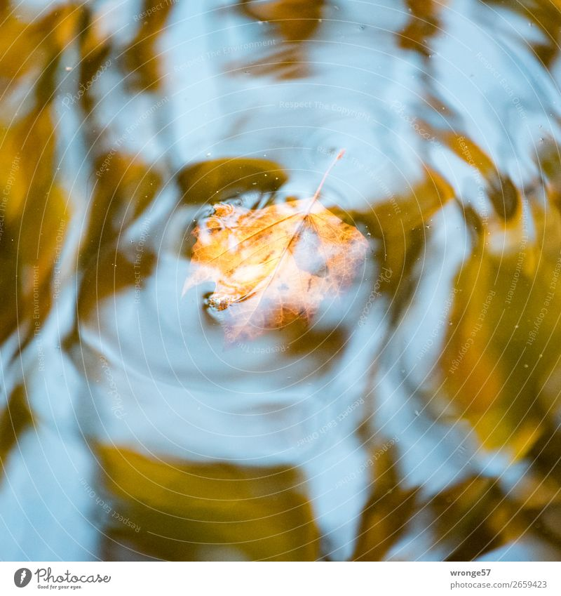 Trash 2018 | Autumn Remains II Nature Plant Water Leaf Pond Swimming & Bathing Wet Blue Brown Yellow Gray Autumn leaves Autumnal colours Lake Surface of water