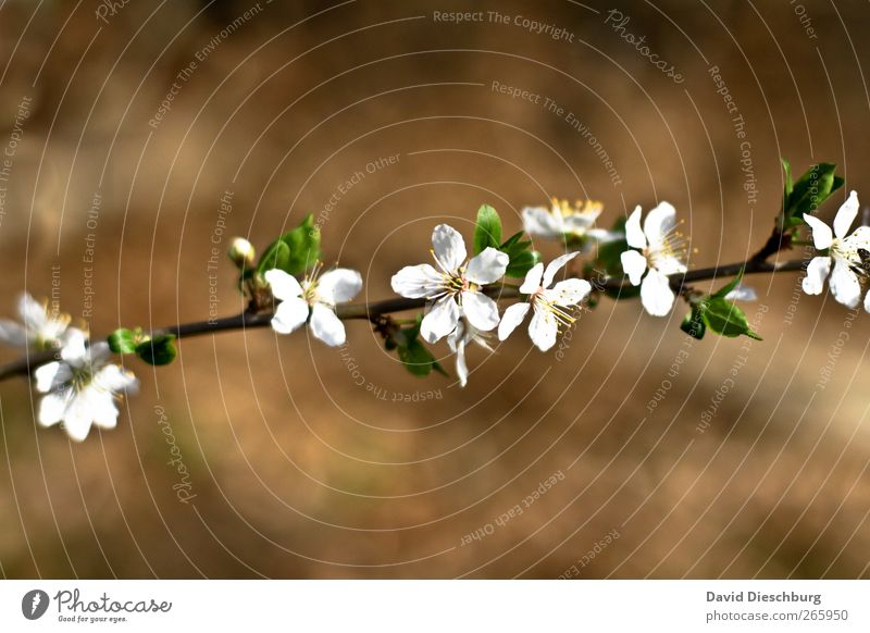 finally spring Nature Plant Spring Flower Blossom Brown White Branch Blossoming Spring flower Spring day Blossom leave Diagonal Growth Fragrance Beautiful