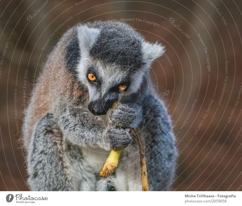 Monkey eats banana Fruit Banana Banana skin Nature Animal Sunlight Beautiful weather Wild animal Animal face Pelt Paw Monkeys Ring-tailed Lemur Half-apes Eyes