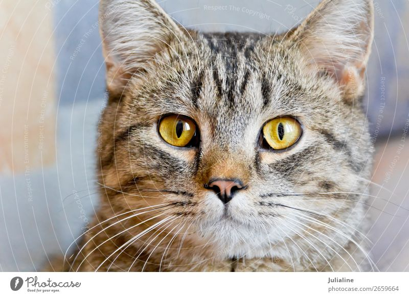 Cat portrait with yellow eyes Animal Moustache Pet Animal face 1 Baby animal Stripe Yellow Gray Mammal whiskers sideburns Colour photo