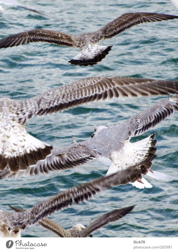evening air traffic Animal Water Wind Waves Ocean Mediterranean sea Barcelona Spain Europe Harbour Wild animal Bird Wing Seagull Silvery gull Baby animal