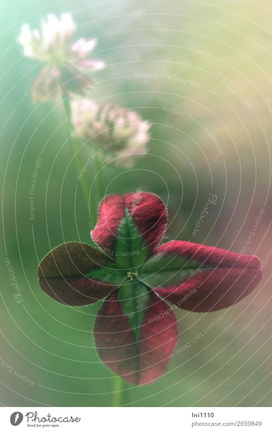 Red clover Plant Summer Beautiful weather Agricultural crop Clover Multicoloured Gray Green Pink Turquoise White Cloverleaf Clover blossom Watercolors