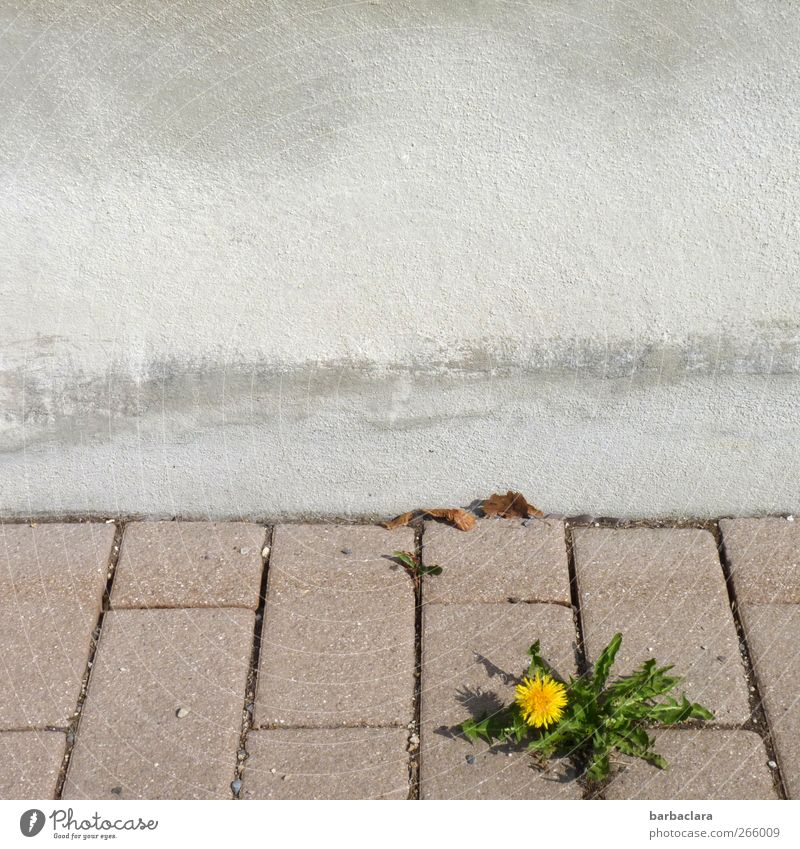 Little muscleman Environment Plant Leaf Blossom Dandelion Wall (barrier) Wall (building) Street Sidewalk Stone Concrete Blossoming Growth Fresh Beautiful Yellow