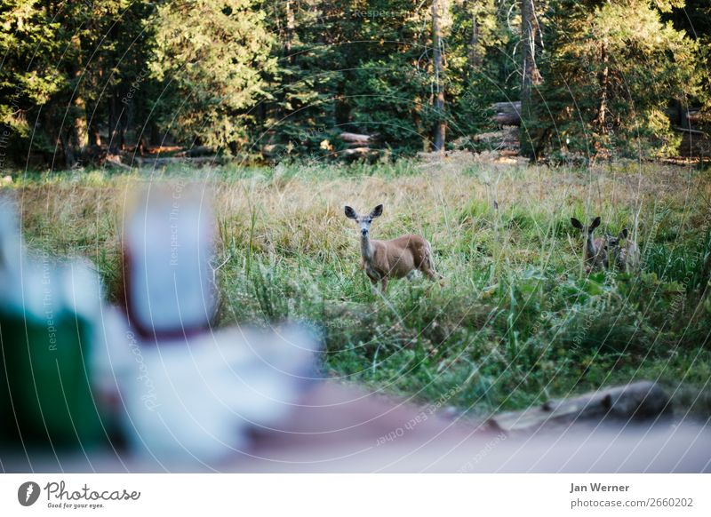 reh Food Hunting Vacation & Travel Camping Environment Nature Forest Sequoia National Park USA California Camping site Roe deer Feeding Animal Wild animal Fawn