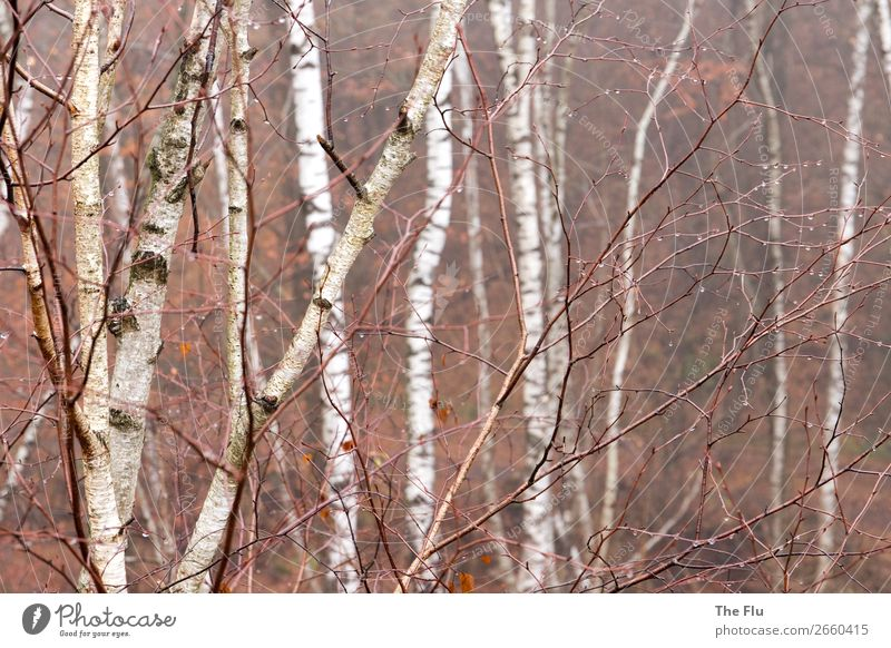 November blues Environment Nature Plant Autumn Rain Forest Wood Hiking Brown Black White Sadness Loneliness Cold Climate Moody Dream Transience Birch tree