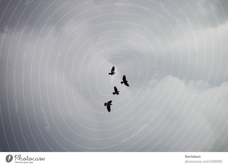 the robbers. Sky Clouds Animal Wild animal Bird Crow Raven birds 4 Group of animals Flying Movement Flight of the birds Clouds in the sky Wing Colour photo