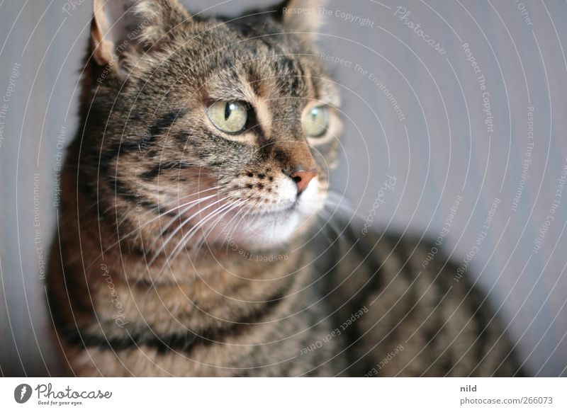^-^ Animal Pet Cat 1 Observe Cute Brown Pelt Whisker Eyes Cat eyes Cat's head Deserted Colour photo Interior shot Copy Space right Neutral Background