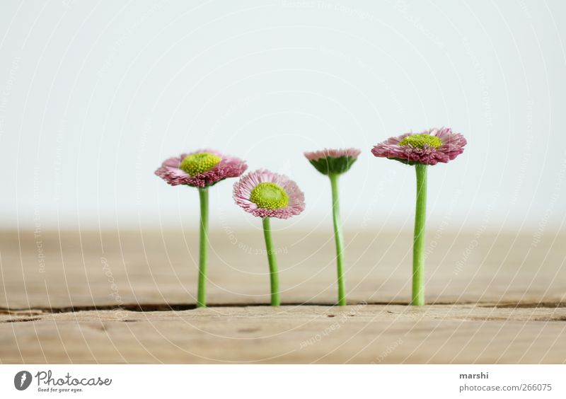 Nature Beautiful Plant Flower Wood Blossom Background picture Exceptional Table 4 Blossoming Daisy Mediocre