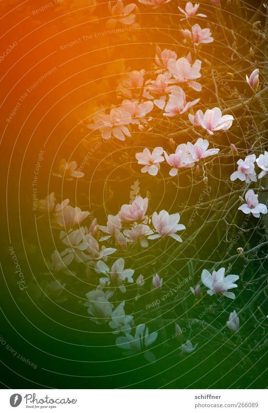 Nature Green Plant Environment Spring Blossom Orange Branch Blossoming Magnolia plants Magnolia tree Orange-red Magnolia blossom