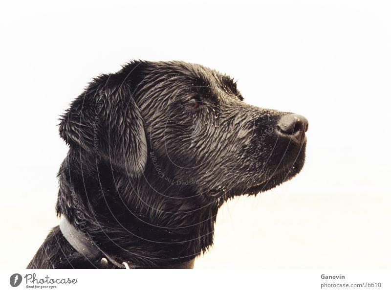 Black Animal Dog Pet Labrador