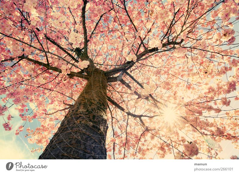 Nature Tree Sun Spring Blossom Bright Pink Natural Authentic Illuminate Blossoming Tree trunk Cherry blossom Twigs and branches Spring fever