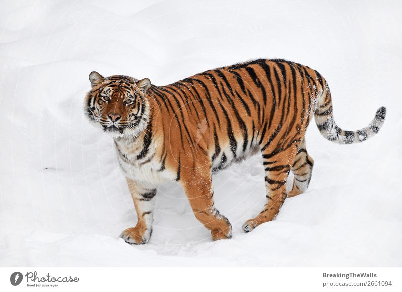 Siberian tiger standing in white winter snow Nature Animal Winter Weather Snow Wild animal Cat Animal face Zoo 1 Observe Stand Fresh White Tiger tigress young