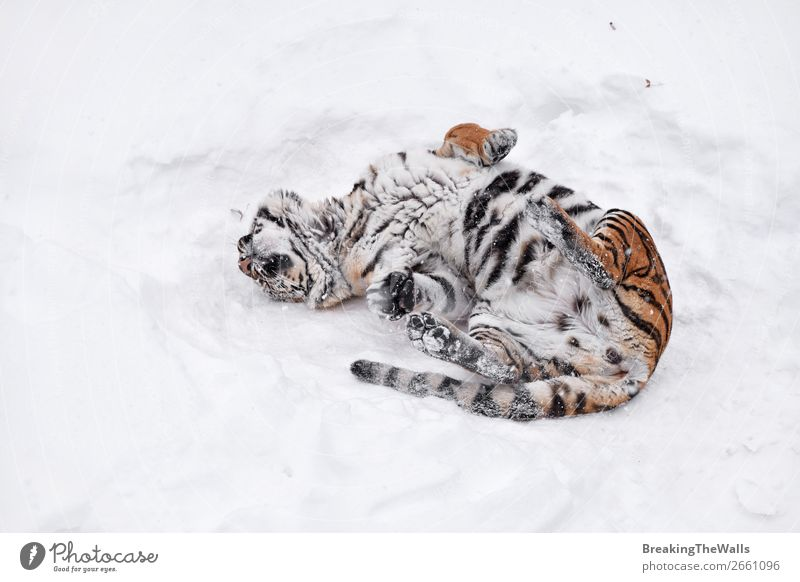 Siberian tiger playing in white winter snow Nature Animal Winter Weather Snow Wild animal Cat Zoo 1 Fresh Clean White Tiger tigress young roll Mark Rest Playful