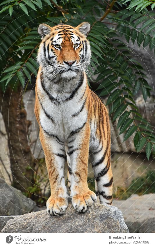 Close up front portrait of Siberian Amur tiger Nature Animal Tree Rock Wild animal Cat Animal face Zoo 1 Stone Observe Stand Cute Watchfulness Tiger young