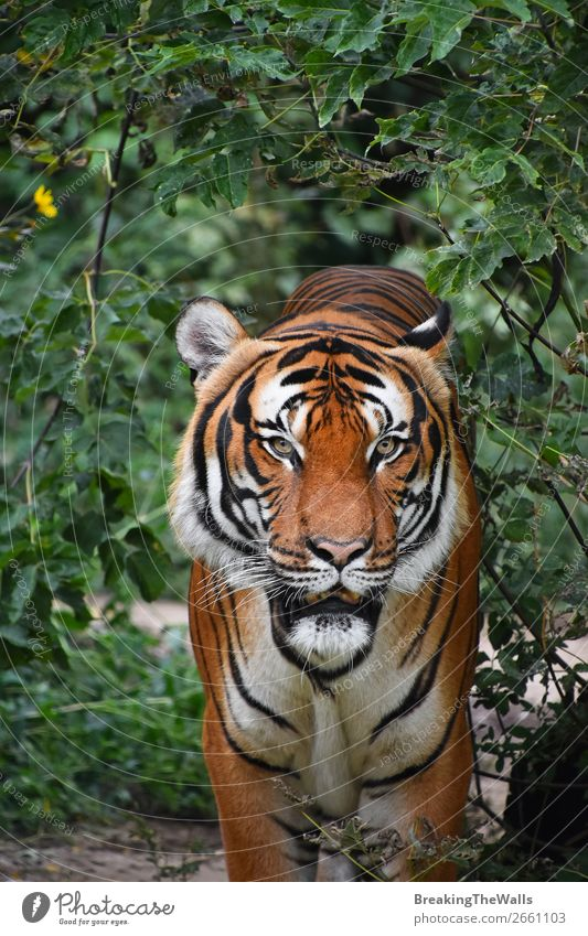 Close up front portrait of Indochinese tiger Nature Animal Tree Forest Virgin forest Wild animal Cat Animal face Zoo 1 Observe Stand Green Watchfulness Tiger
