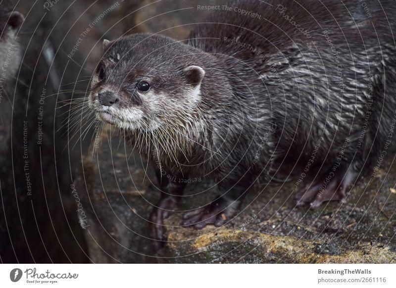 Close up portrait of one small river otter Nature Animal River Wild animal Animal face Zoo 1 Observe Small Mammal wildlife predator captivity Enclosure