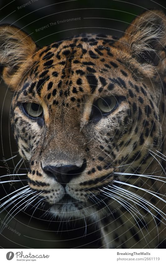 Close up portrait of Persian leopard Nature Animal Wild animal Cat Animal face Zoo 1 Dark Snout stare wildlife Mammal predator Carnivore panthera pardus