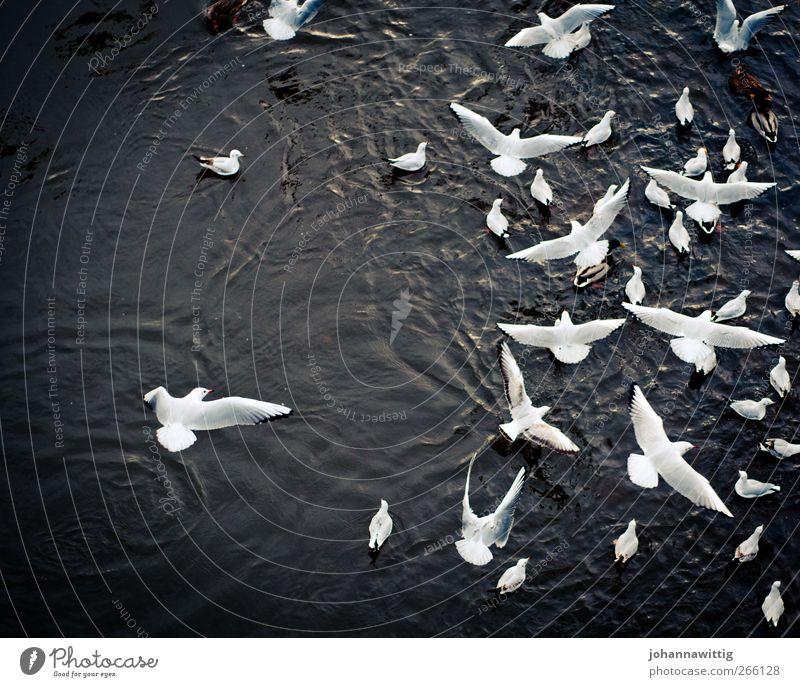 Water White Beautiful Bird Flying Wild animal Wing Group of animals Many Pelt Flock Judder Flight of the birds