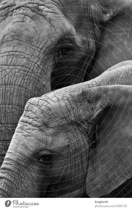 Animal Calm Gray Wild animal Large Stand Serene Elephant Gigantic Elephant skin Elefantears Elephant eye