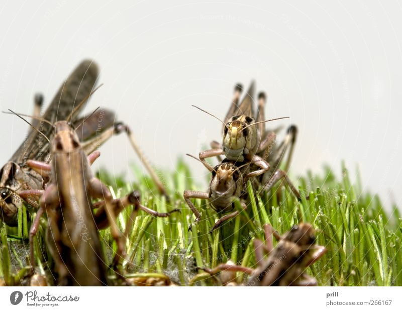grasshoppers Food Nature Animal Grass To feed Brown locustus migratoria desert locust Plagues looting Continuity feed animals Propagation low viewing angle