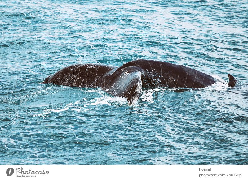 Humpback whale on the Australian coast Life Vacation & Travel Trip Ocean Nature Animal Coast Watercraft Wild animal 1 Blue Whale wildlife awesome