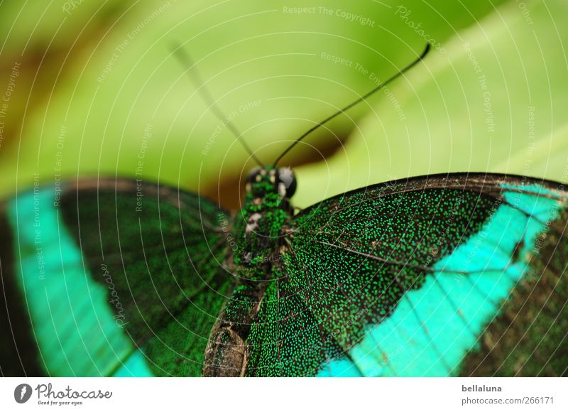 Green striped Swallowtail (Papilio palinurus) Nature Tree Leaf Foliage plant Wild plant Animal Wild animal Butterfly Animal face Wing 1 Esthetic Exceptional
