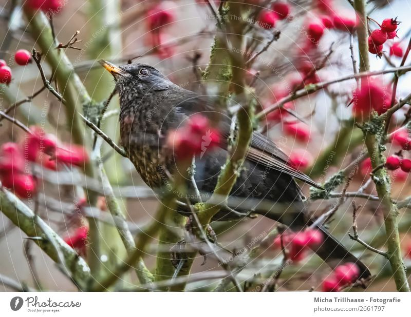 Blackbird in a berry bush Nature Animal Sunlight Beautiful weather Bushes Berry bushes Berries Wild animal Bird Animal face Wing Claw Beak Feather 1 Observe