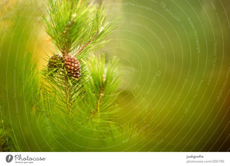 forest Environment Nature Landscape Plant Wild plant Forest Growth Natural Green Pine Cone Colour photo Exterior shot Copy Space right Blur