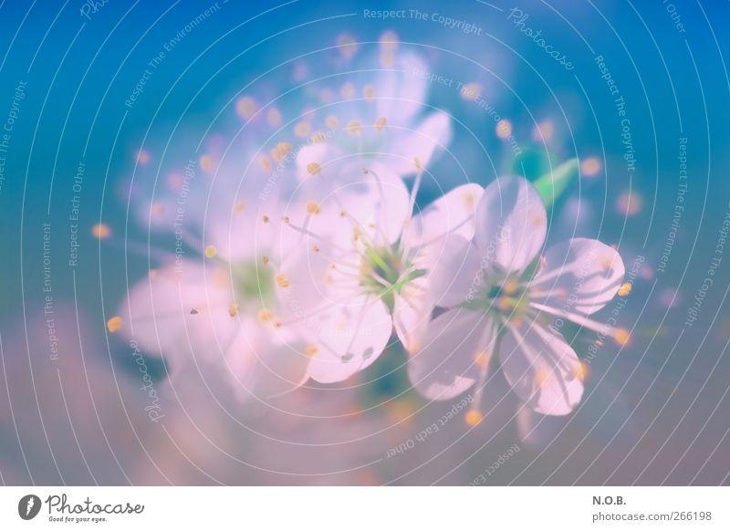 flower dream Nature Plant Spring Blossom Garden Park Fragrance Esthetic Friendliness Happiness Natural Blue Pink Emotions Happy Joie de vivre (Vitality)